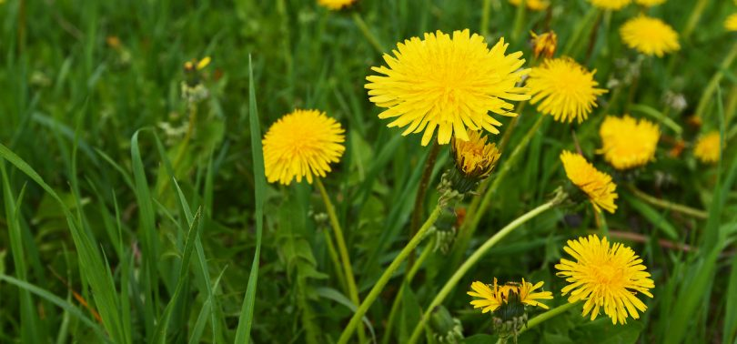 What Is A Dandelion Macmillan Dictionary Blog