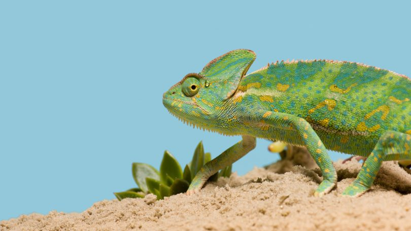 What is chameleon? | Macmillan Dictionary Blog